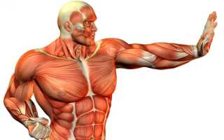 Типы мышечных волокон и их свойства